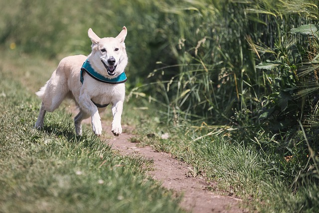 závodní pes